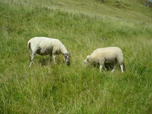 Ovine buddies