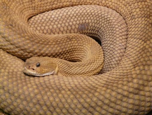 basilisk-rattlesnake-rattlesnake-snake-viper-87428.jpeg